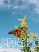 Monarch Butterfly Classroom Presentation Brochure