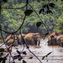 Herd in river 1