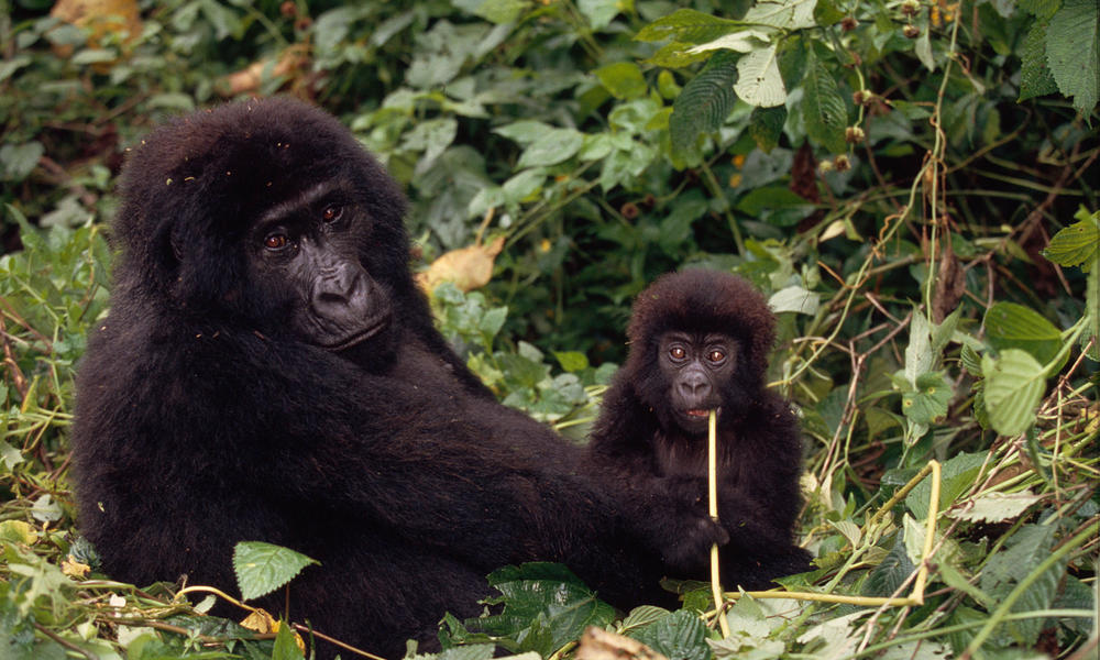 Mid 51149gorilla congo species