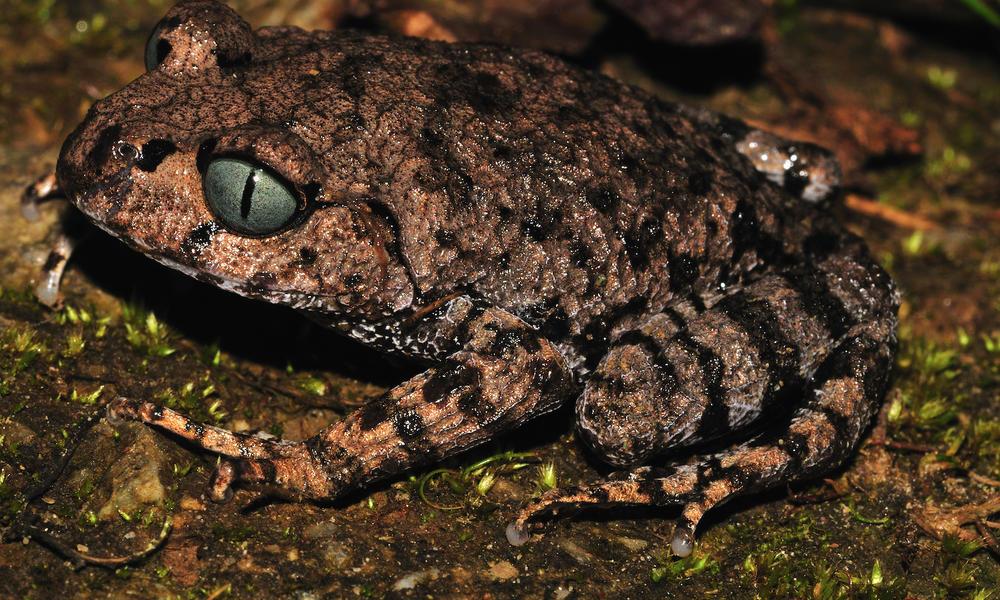 Bomput Litter Frog
