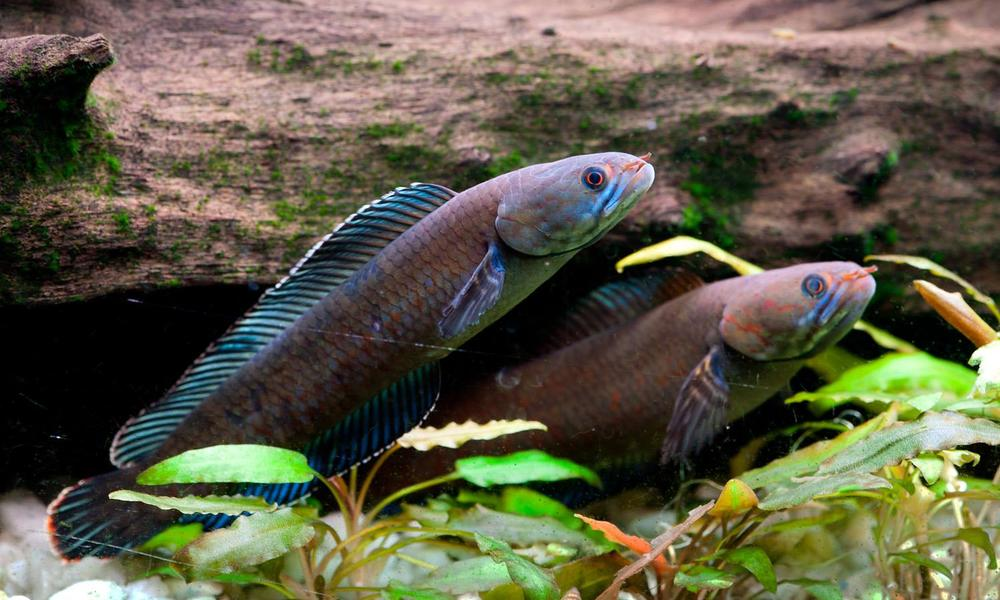 vibrant blue walking snakehead fish
