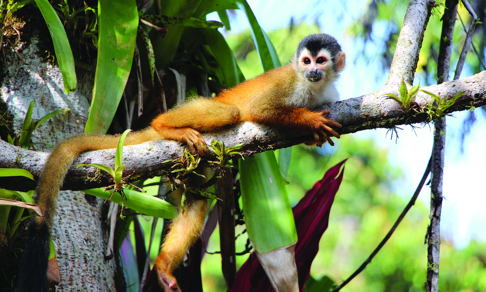 Monkey on branch in Costa Rica