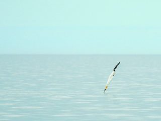Gannet diving into the water to prey on fish
