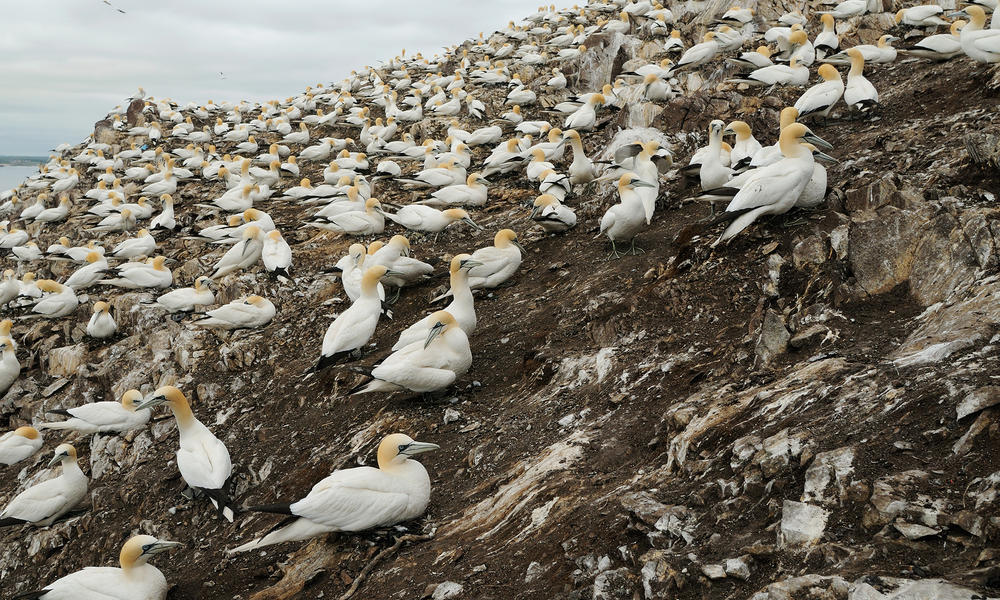 Gannet birds nesting