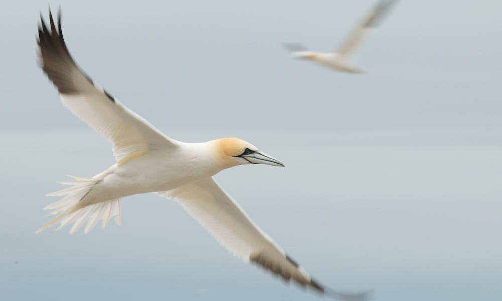 Gannet cruising in the wind
