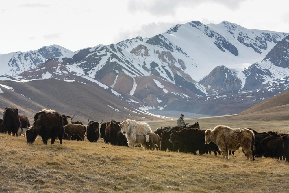Herding yaks, such as those in this demonstration herd, is being promoted as part of a suite of climate-adaptation strategies for high-altitude communities.