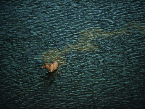 A moose wading through Bristol Bay
