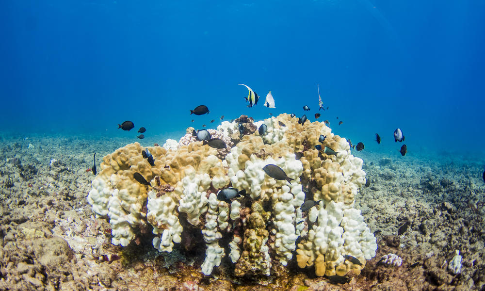 Alexavitek 1 coral