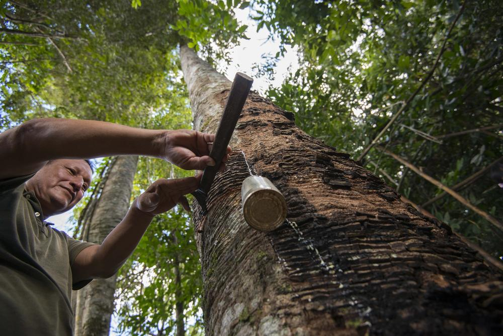 tapping a tree in peru