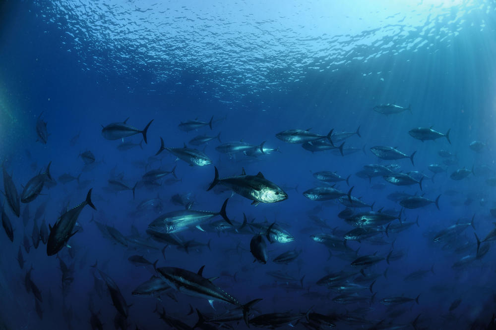 Finding a better way to fish for dolphin safe tuna for Is tuna fish good for you