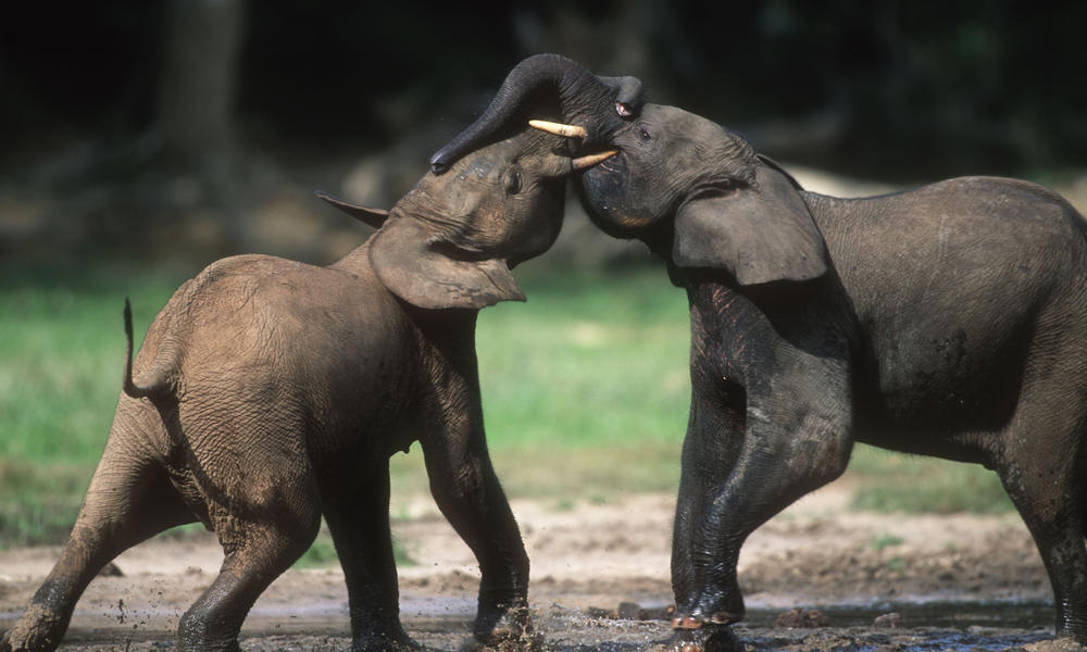 Forest Elephant Why they matter
