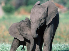Two elephant calfs leaning on each other
