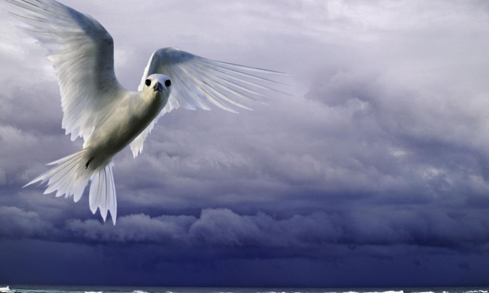 white tern flying over the ocean