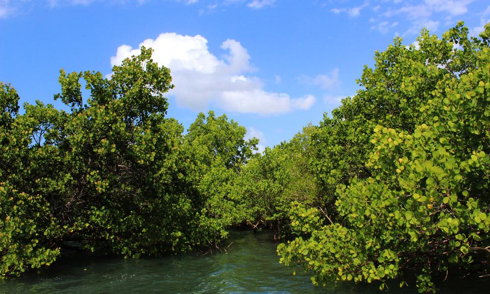 mangroves in mozambique