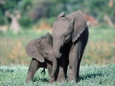 Two elephant calves