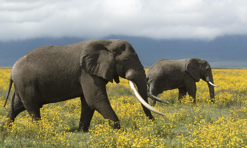Coastal East Africa, African Elephants, Tanzania