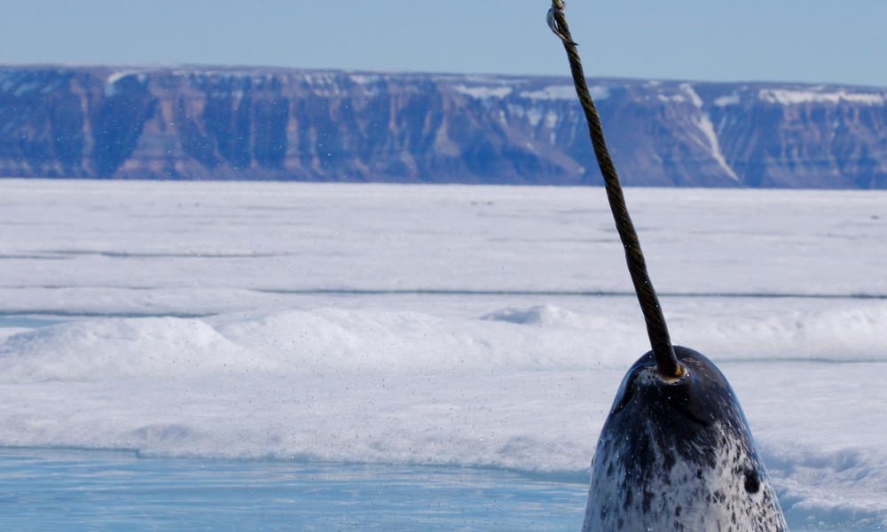 narwhal rising up