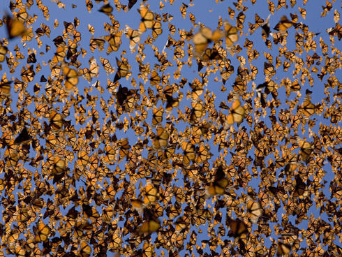 Cloud of monarch butterflies