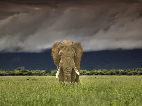African elephant walking in a field