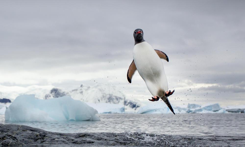 Pingüino, saltar