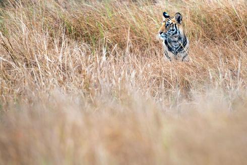 Tiger in tall grass