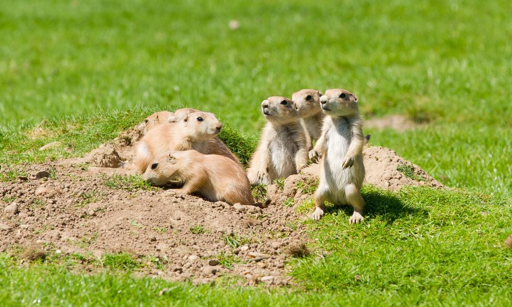 8 surprising prairie dog facts | Stories | WWF