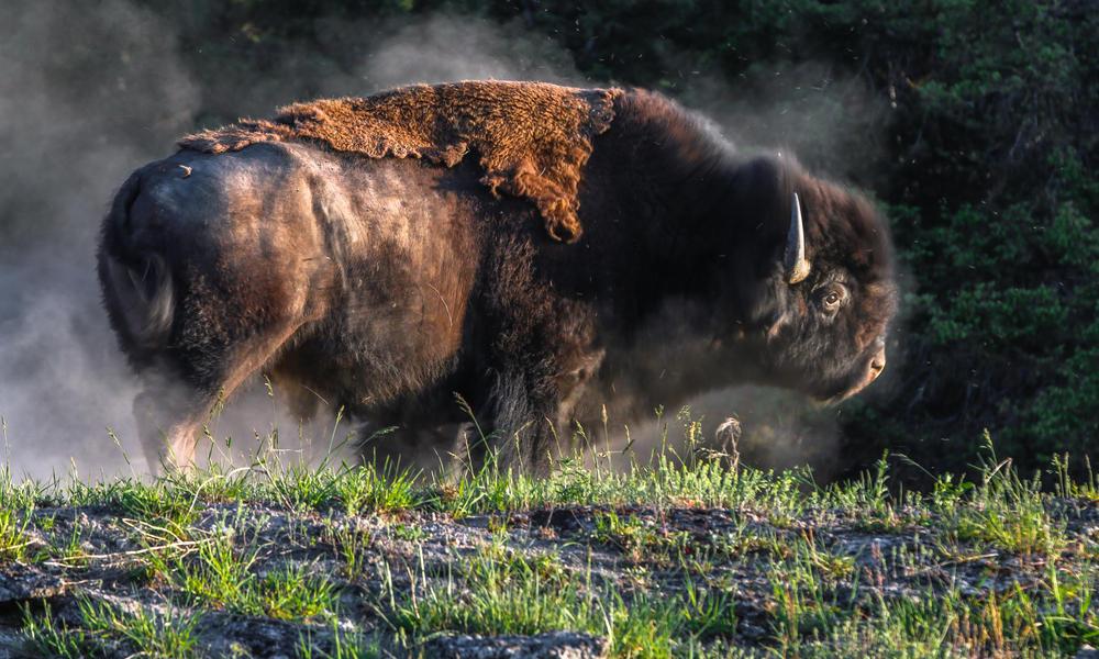 Bison dust_NGP | Photos | WWF