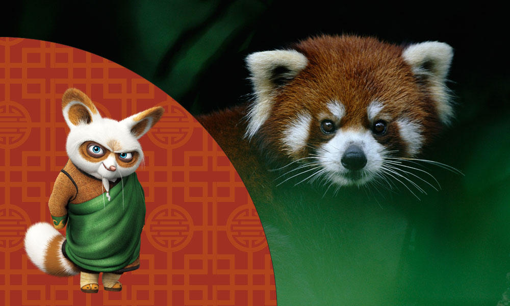 Shifu the red panda from Kung Fu Panda 3