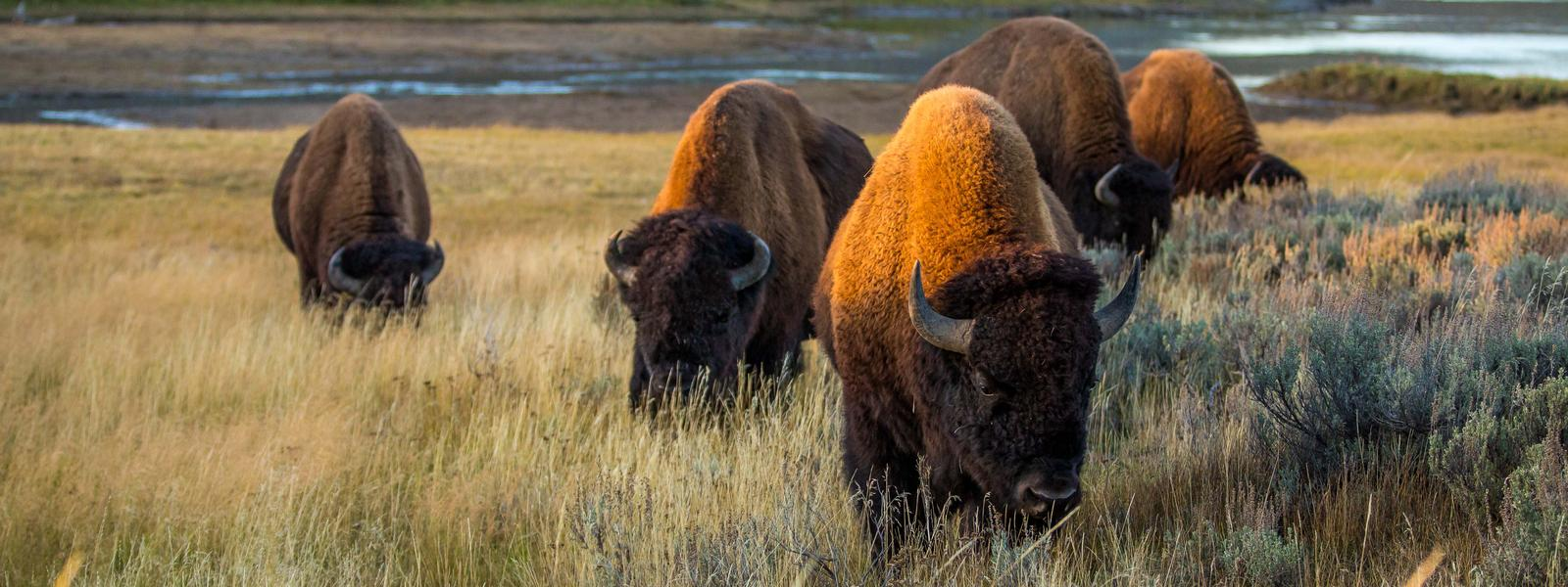 plains bison species wwf