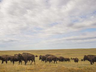 bison at fort peck