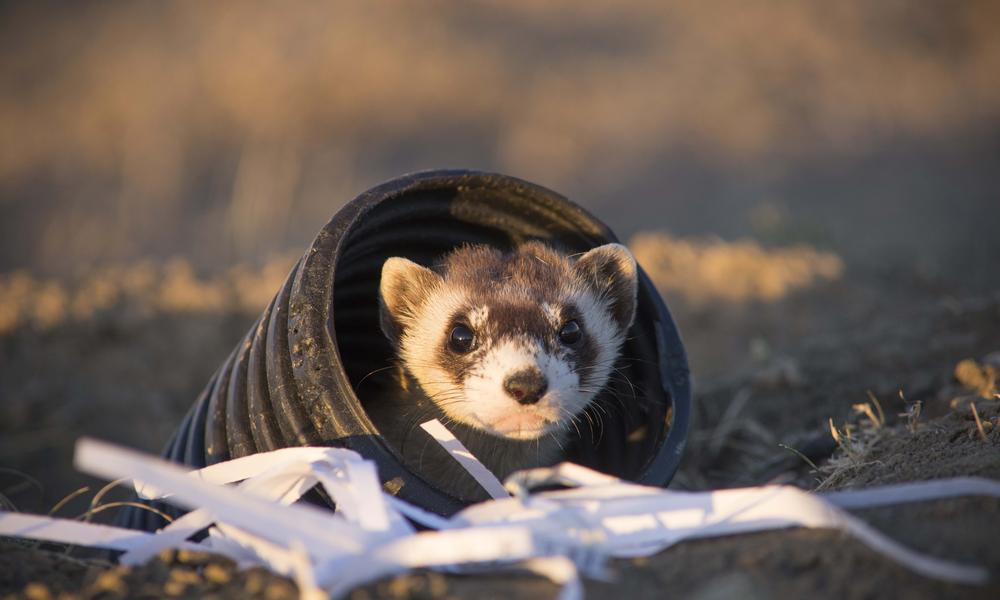 black footed ferret released