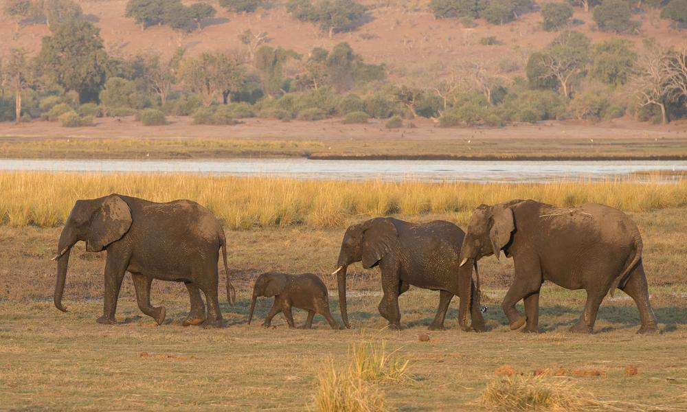 elephants walking in a line