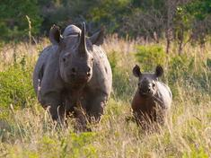 Black rhino and calf wwf sa