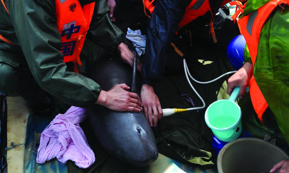 Holding down finless porpoise