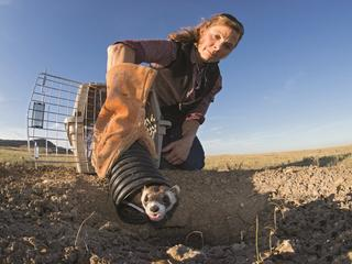 Black-footed ferret release