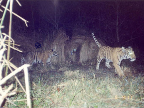 Female tiger with two cubs