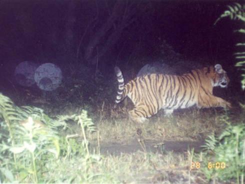 Tiger running from camera trap