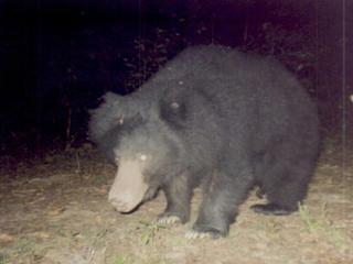 Common bear