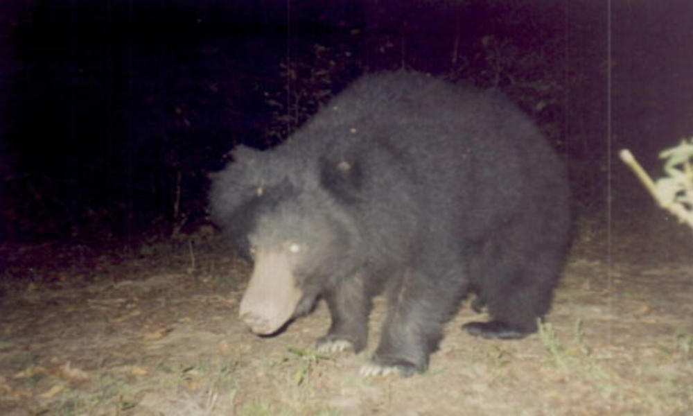 Common bear
