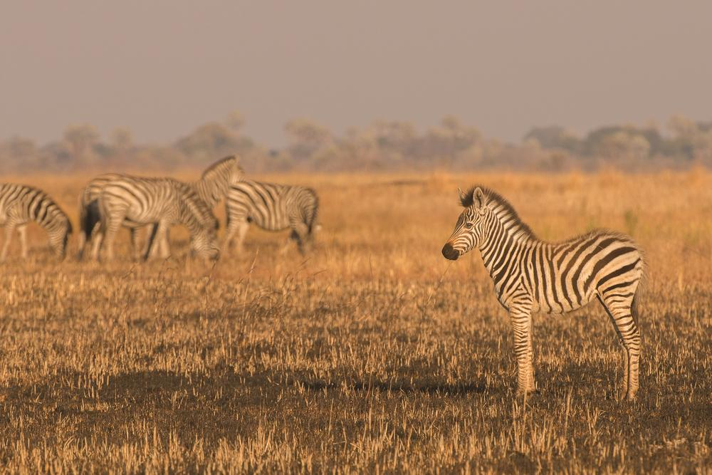 On Salambala Conservancy land, a herd of zebras hundreds strong pauses in the morning light to rest. T