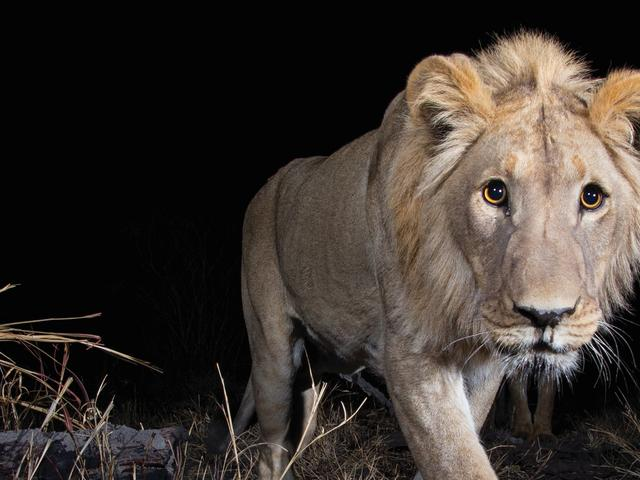 Male Lion in camera trap