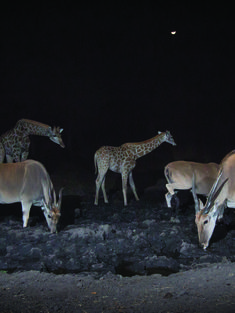 Camera trap giraffe and gazelle