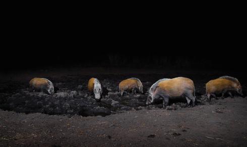 a gathering of bush pigs