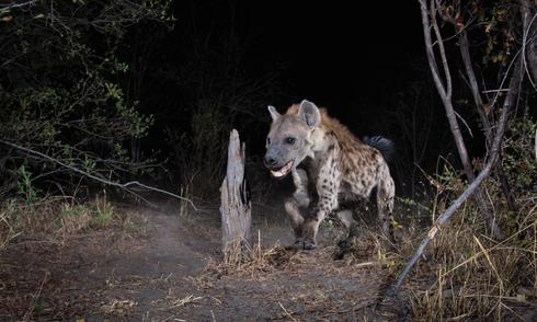 racing hyena