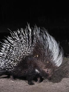 Camera trap porcupine