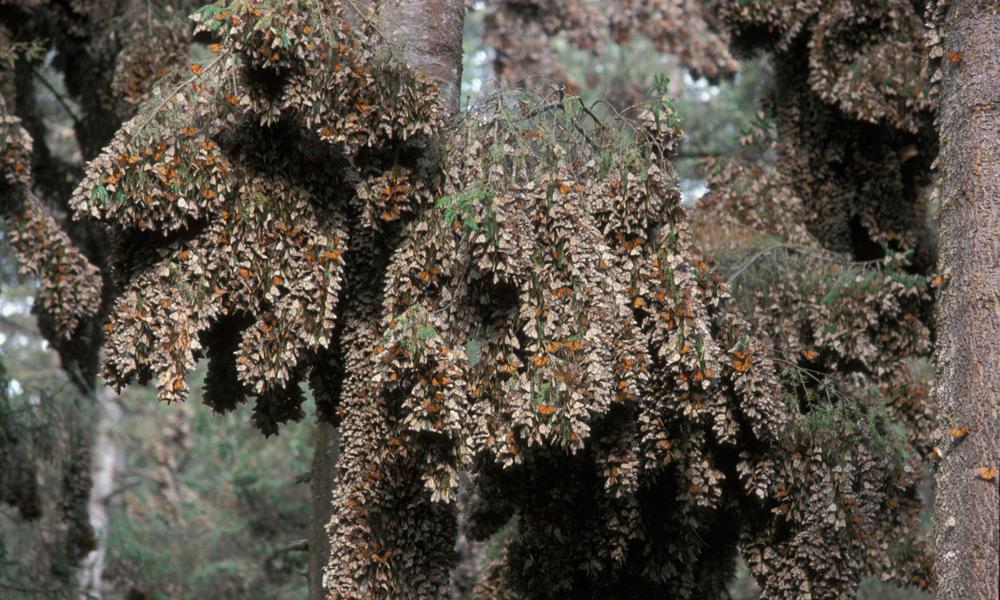 Monarch Butterflies in Wintering Area.  Danaus plexippus.  February, Highlands in Mexico (3500m).