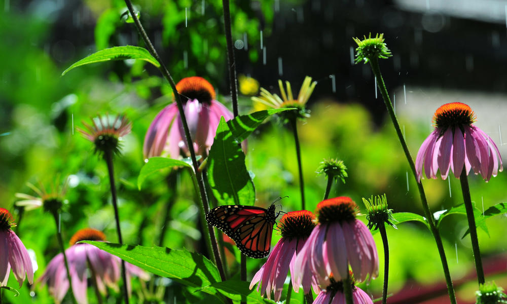 Monarch butterfly (Danaus plexippus) and purple coneflowers, Echinacea (Echinacea angustifolia), Ontario, Canada.