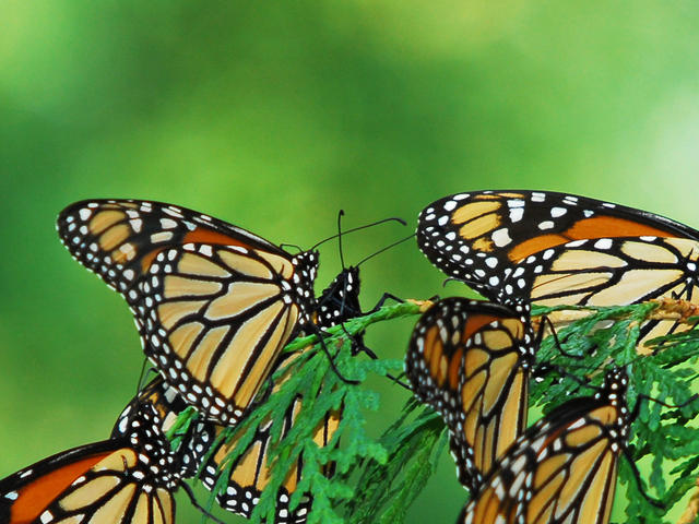 A flutter of monarch butterflies