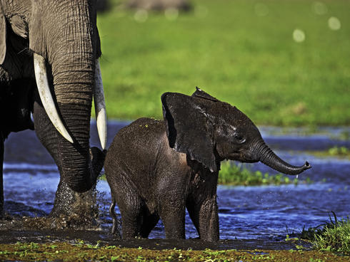 African elephant (Loxodonta africana), young calf and adult crossing water in a swamp. Amboseli National Park Kenya