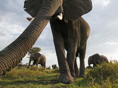 African elephant investigating with its trunk (Loxodonta africana), Maasai Mara National Reserve, Kenya.